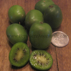 Kiwi Arguta Femelle Early Cordifolia