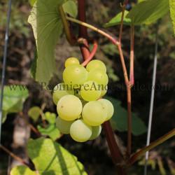 Vigne KayGray 1 à