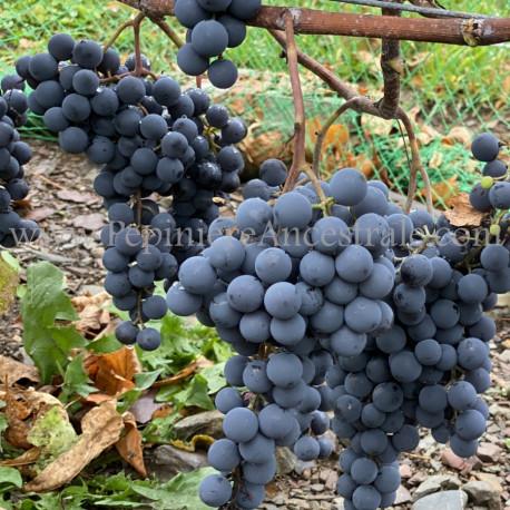 Vigne Radisson 1 à