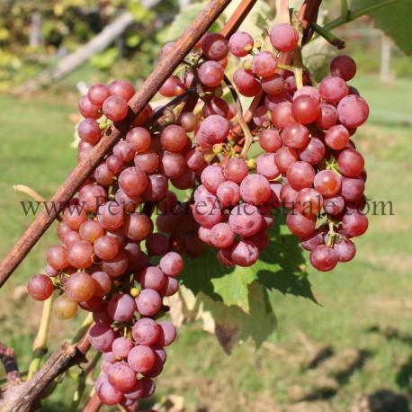 Vigne Somerset 1 à