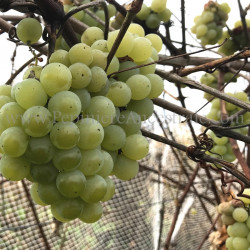 Vigne Swenson White 1 à