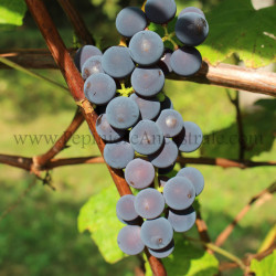Vigne Valiant 1 à