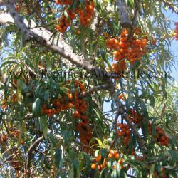 Argousier Femelle Orange Energie 1 à