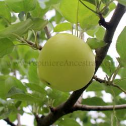 Pommier Yellow Transparent