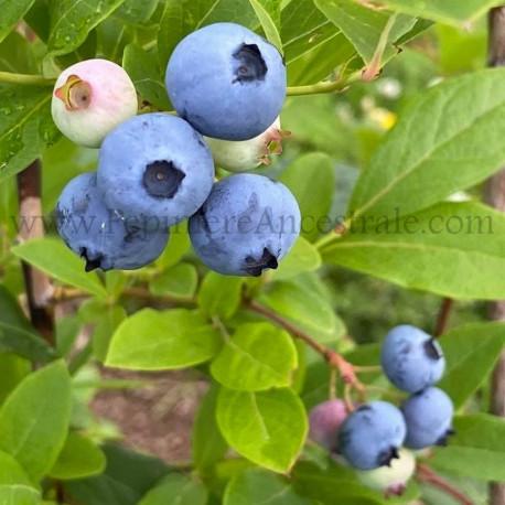 Bleuetier Hardy Blue