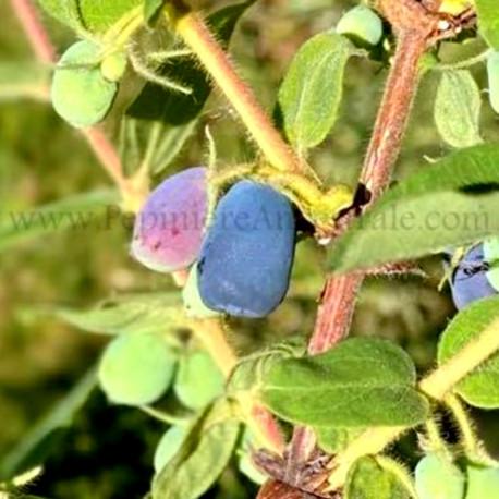 Camerisier Indigo Treat